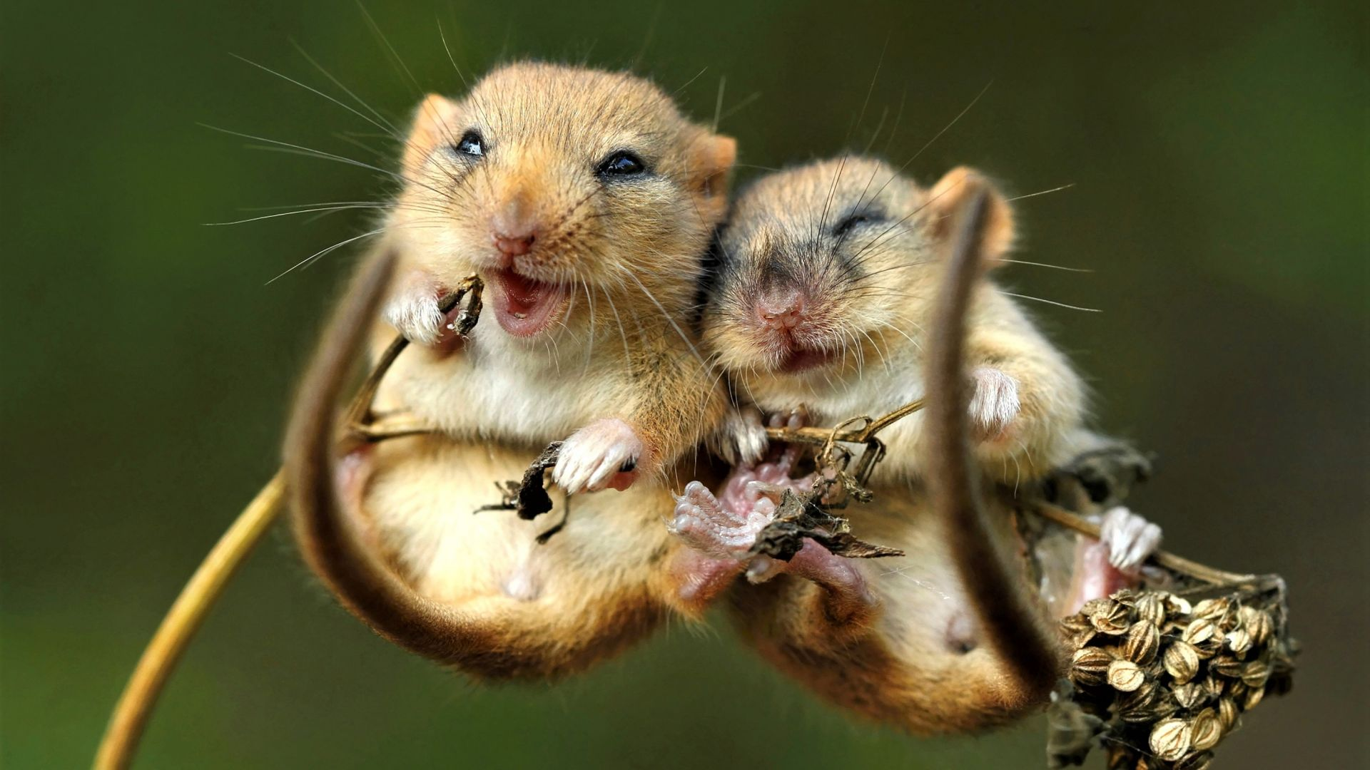 mouse, cute animals, 4K